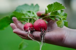 Radishes in a hand.